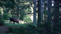 European bison in forest Stock Footage