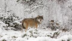 Wolf pack in winter forest looking alerted curious Stock Footage