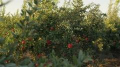 Pomegranate trees 4K 1 Stock Footage