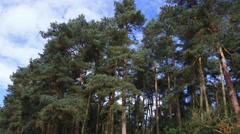 Autumn pine forest trees low angle pan nature background Stock Footage