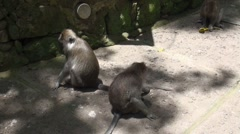 Macaque monkeys social behavior cleaning from fleas Stock Footage