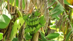 Banana plantations Stock Footage