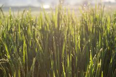 Paddy rice fields of agriculture cultivation Stock Photos