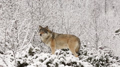 Wolf in winter forest looking alerted curious walking away in the end Stock Footage
