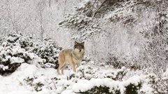 Wolf in winter forest looking alerted walking to small hill Stock Footage