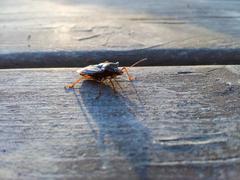 Hemiptera - stock photo