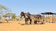 Donkeys standing rural village namibia africa uhd 4k Stock Footage