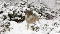 Wolf in winter forest walking out of frame right to left Stock Footage