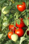 Bunch of red tomatoes in greenhouse Stock Photos