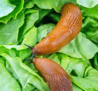 Snail with lettuce leaf Stock Photos
