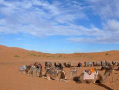 Circle of camels in Erg Chebbi Sahara desert - stock photo