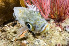 Kelp rockfish Stock Photos