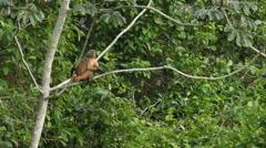 Capucin monkey leaving, 60 fps - stock footage