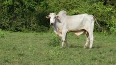 Brahman cattle, Pantanal, 4k - stock footage