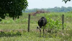 Rhea americana, Pantanal, 4k Stock Footage