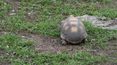 Red-footed tortoise, Pantanal, 4k Stock Footage