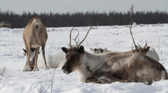 The white reindeer lies  in snow and the herd is behind grazed. Stock Footage