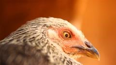 closeup of Hen - stock footage