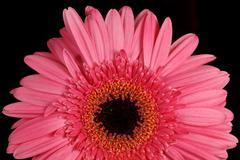 pink gerbera daisy - stock photo