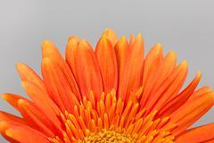 orange gerbera daisy - stock photo
