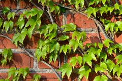 Wild grapes on the ancient wall Stock Photos