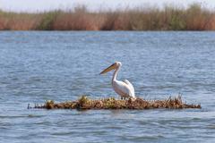 Pelican in danube delta Stock Photos