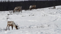 Reindeer Graze On The Winter Forest - stock footage