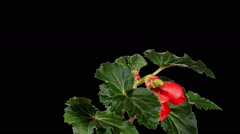 Blooming red Begonia flower buds ALPHA matte, FULL HD Stock Footage