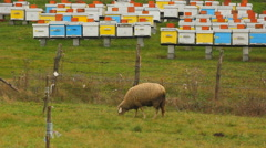 Sheep grazing grass on the meadow in front of bee hives Stock Footage