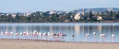 flamingo birds - stock photo