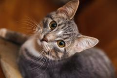 domestic short-haired young whiskered cat sitting and looking - stock photo