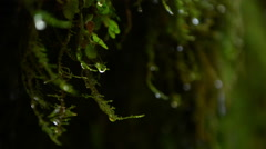 Water drops on moss Stock Footage