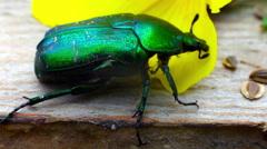 Green beetle Stock Footage