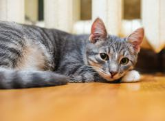 lie down domestic lazy short-haired young whiskered cat - stock photo
