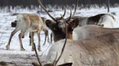 Reindeers Herd. Reindeer in tundra vegetation grazing. - stock footage