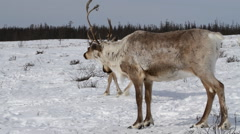 Two Reindeer in a winter scenery - stock footage