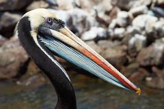 Peruvian Pelican Stock Photos