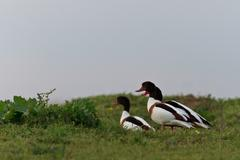 Common shelduck tadorna tadorna Stock Photos