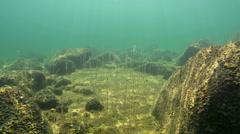 Aquatic plant Water lobelia growing between stones Stock Footage