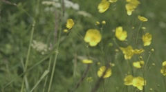 Buttercups in the wind Stock Footage