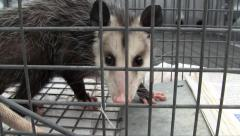 Opossum In A Trap Stock Footage