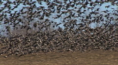 Large flock of flying White-fronted and Red-breasted geese - stock footage