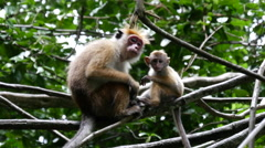 Mother and baby monkey in the forest, Sri Lanka Stock Footage