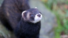 Polecat Close up on Head Stock Footage