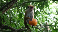 Monkey with food from the temple in a tree, Sabaragamuwa region, Sri Lanka Stock Footage