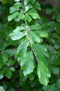 Branch of a Persian Ironwood (lat. Parrotia persica) - stock photo