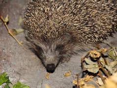 hedgehog taken closeup. - stock photo