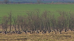 Large flock of flying White-fronted and Red-breasted geese Stock Footage