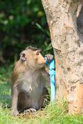 Monkey drinking clean water from tube for lovely and animals in wild theme Stock Photos