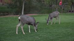 4K Wild Deer Eats Golf Course Green Grass Stock Footage